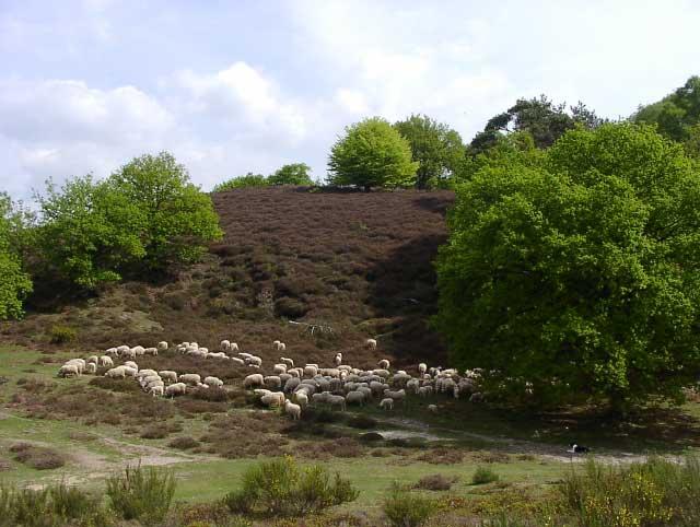 schapen heide
