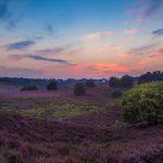 Prachtige paarse heidevelden rondom Posbank