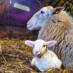 Eerste lammetje geboren!