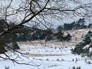 Roedel herten in de sneeuw